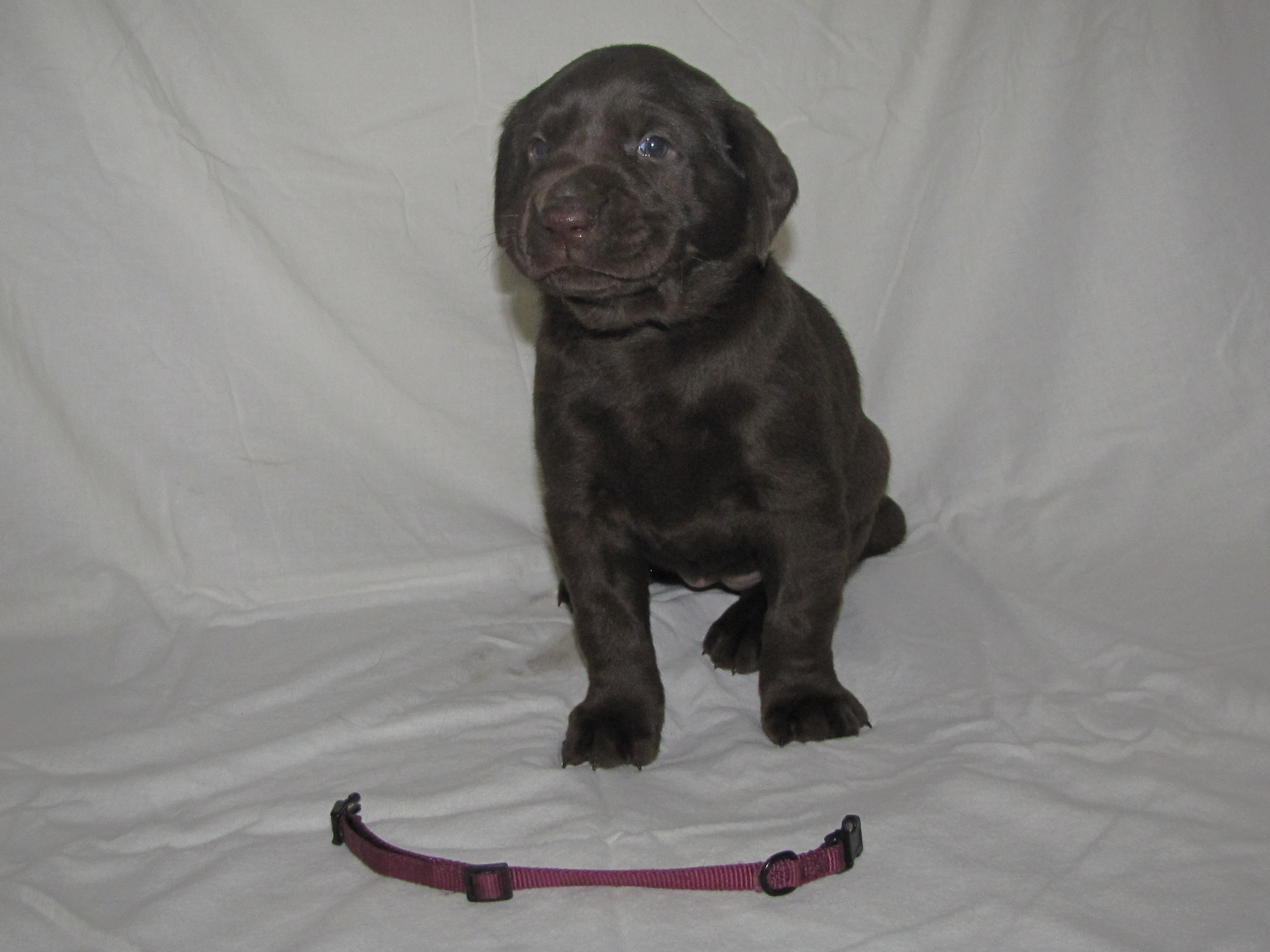 "4 Weeks Old - Pink Collar Female ""Roxy"""