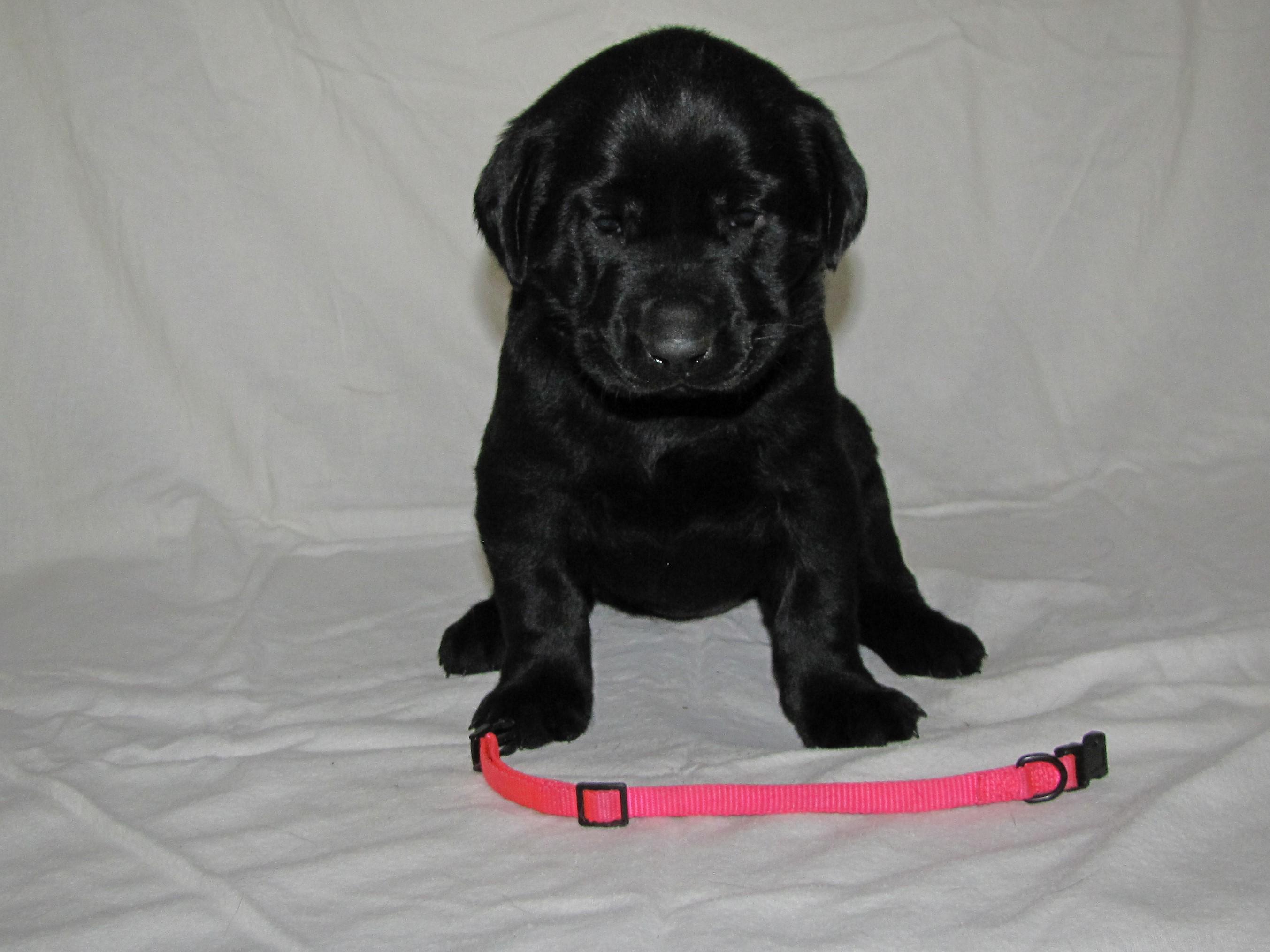 "4 Weeks Old - Pink Collar Female ""Tikka"""