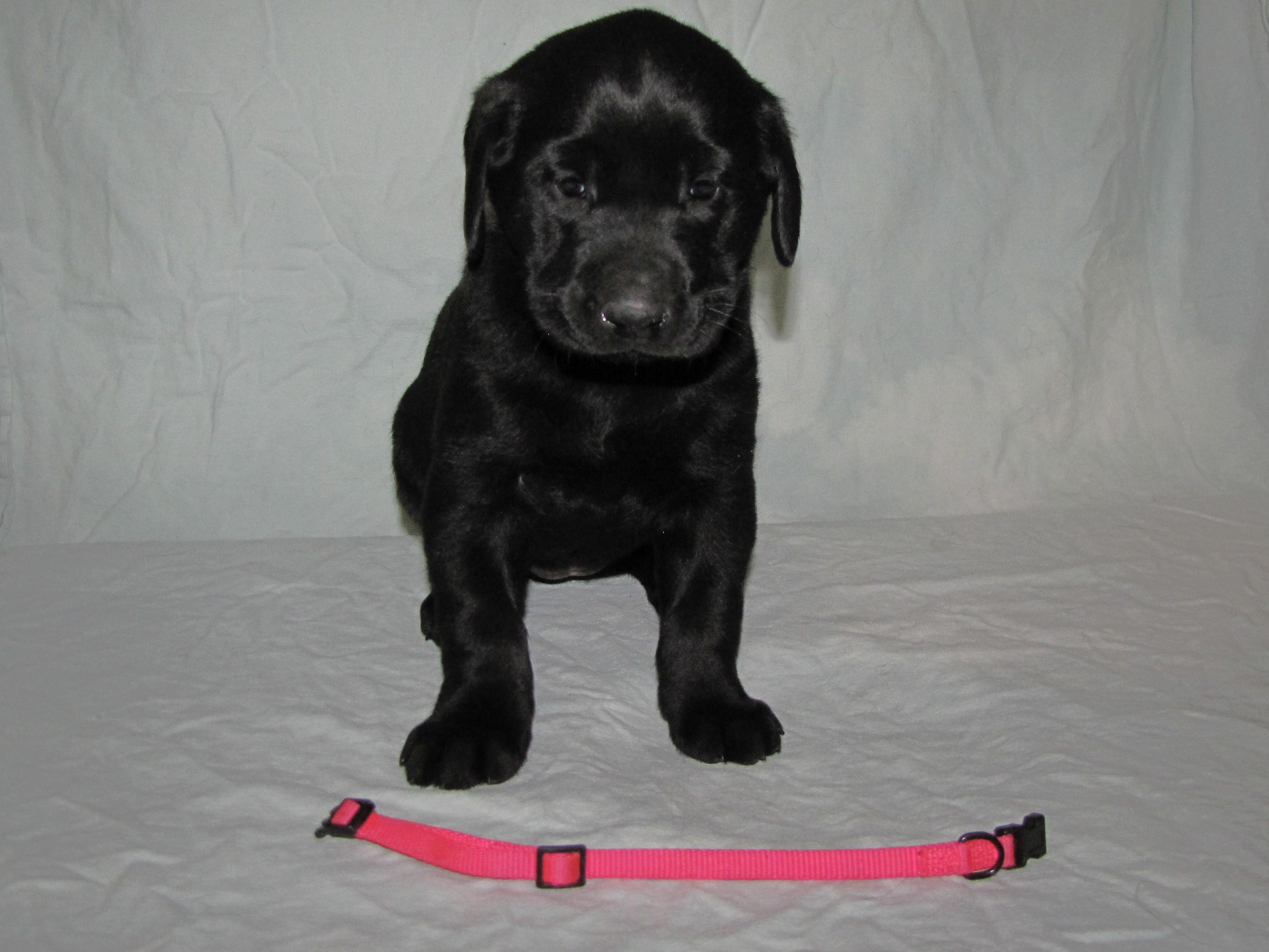 "5 Weeks Old - Pink Collar Female ""Tikka"""