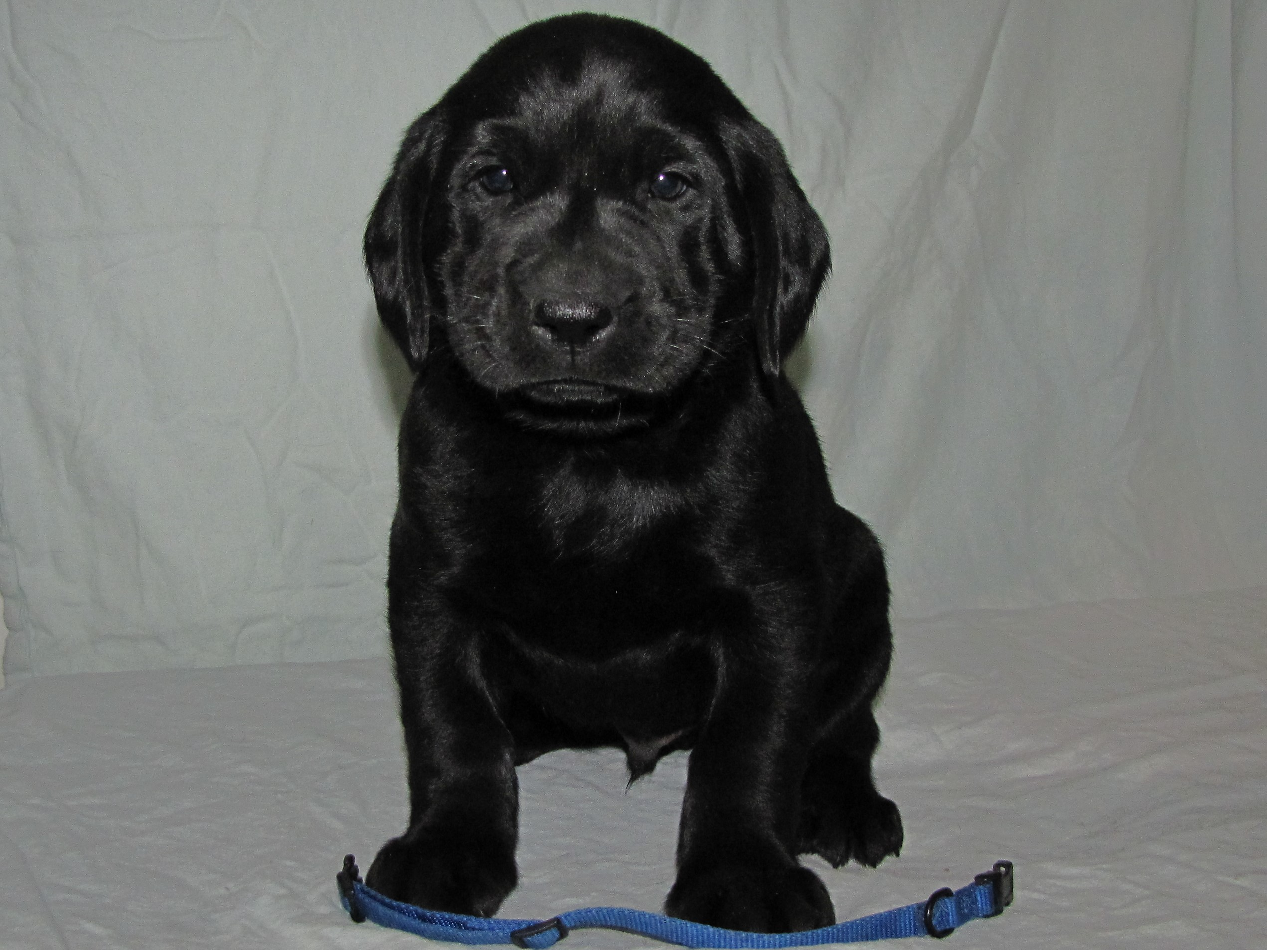 "5 Weeks Old - Blue Collar Male ""Guinness"""