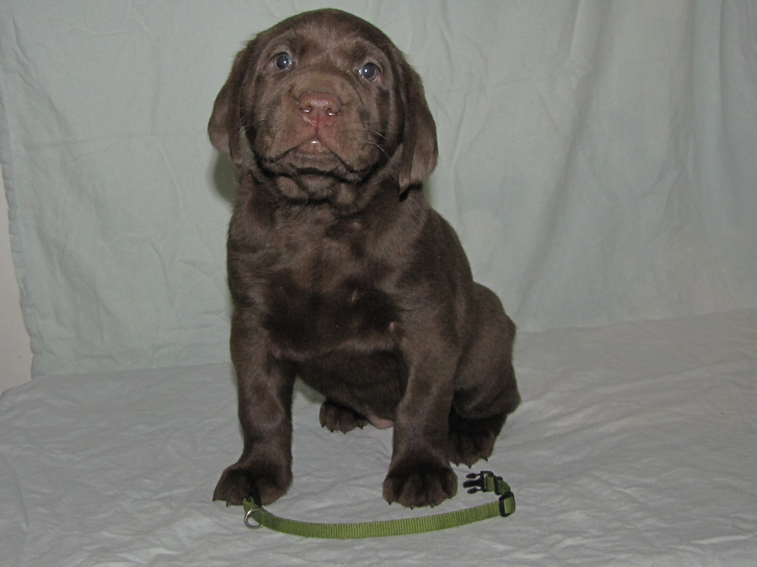 """5 Weeks Old - Green Collar Female """"Willow"""""""