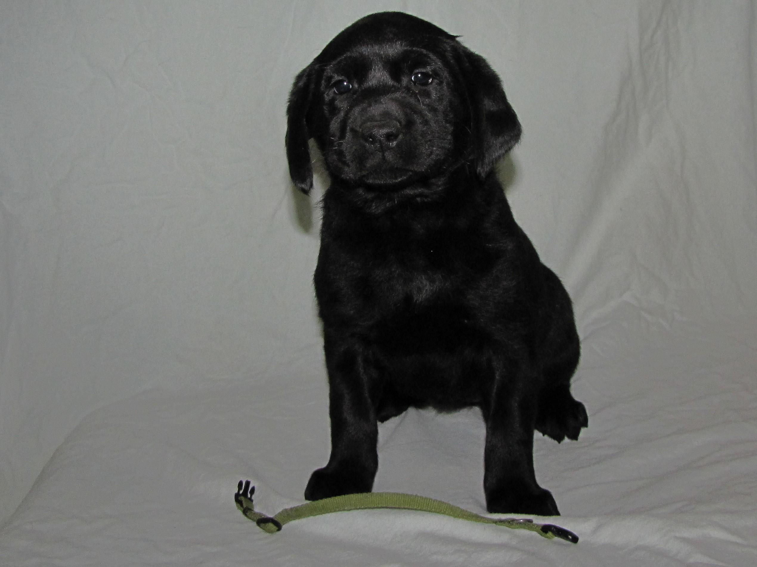 "6 Weeks Old - Green Collar Female ""Echo"""