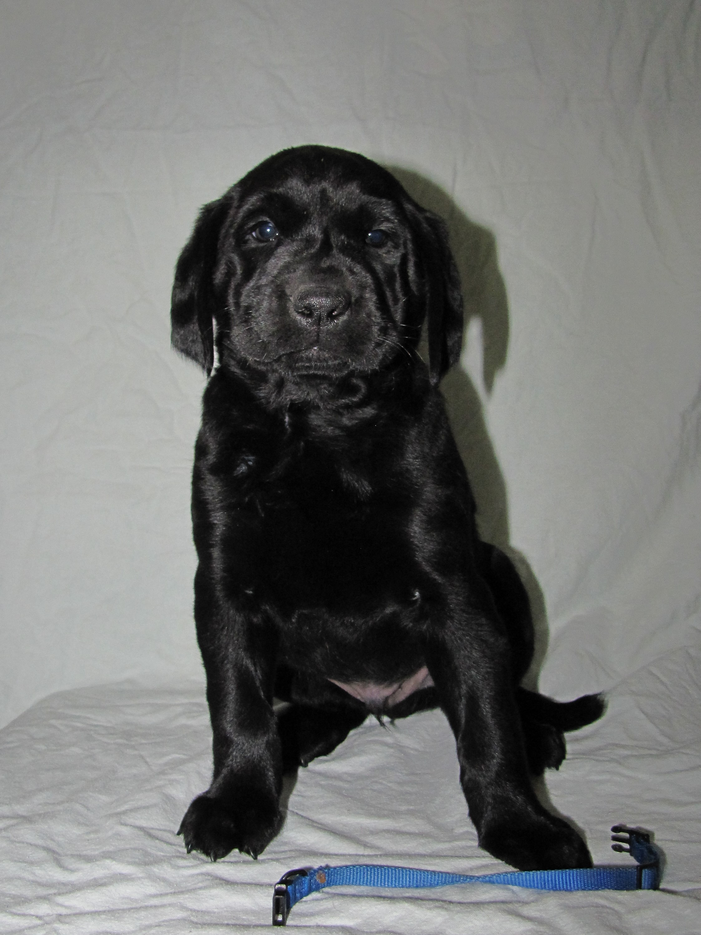 "6 Weeks Old - Blue Collar Male ""Guinness"""