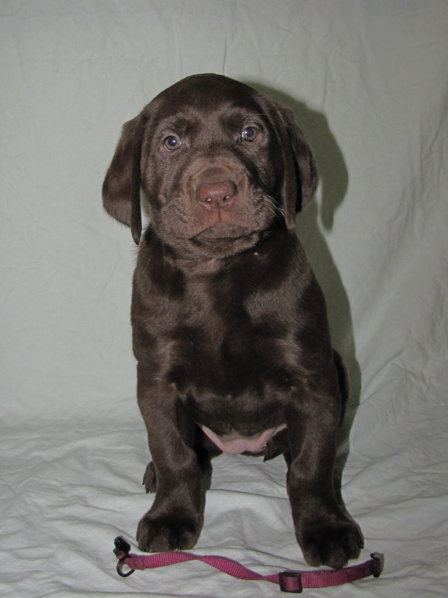 """6 Weeks Old - Pink Collar Female """"Roxy"""""""