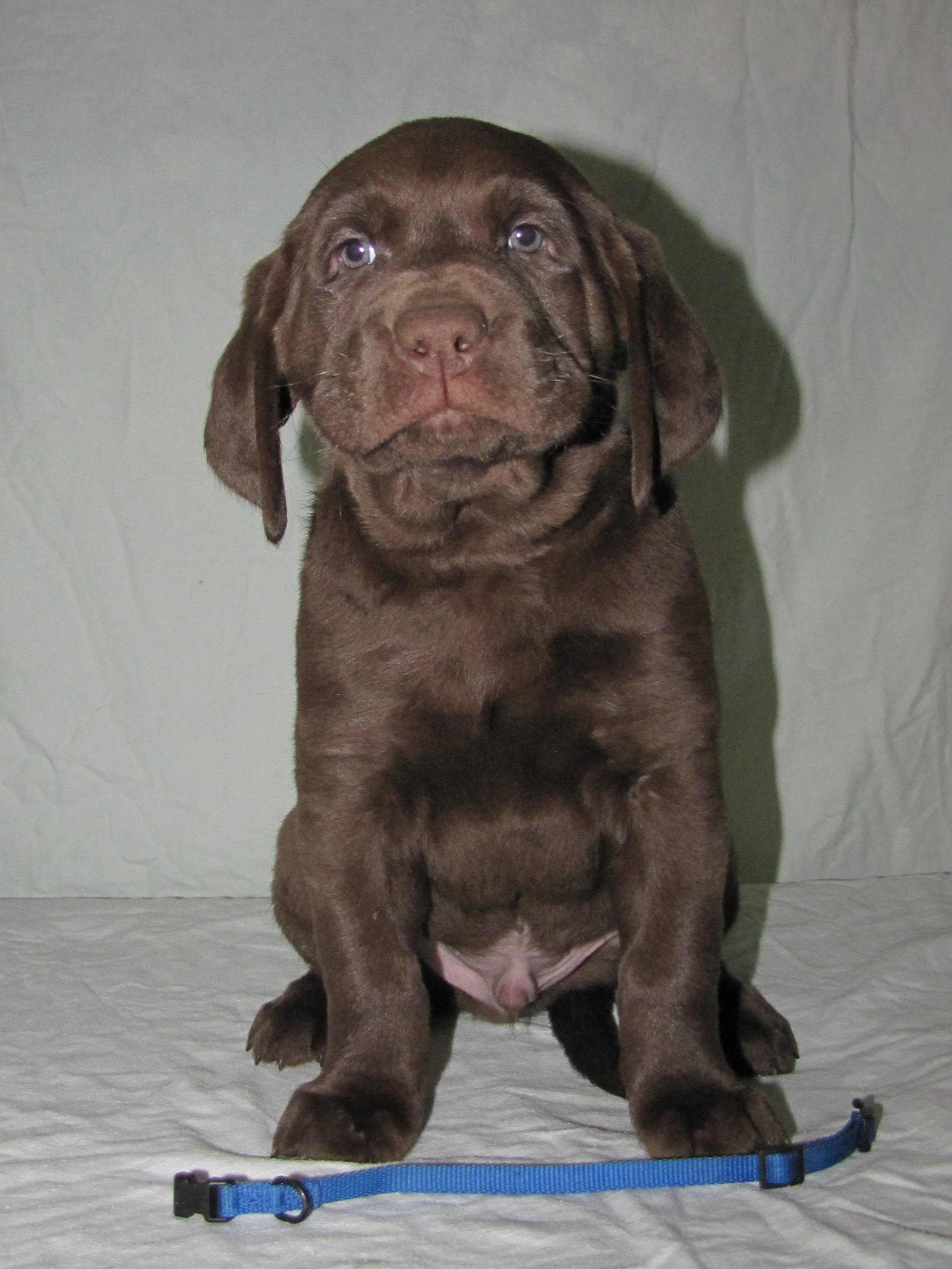 """6 Weeks Old - Blue Collar Male """"Gord"""""""