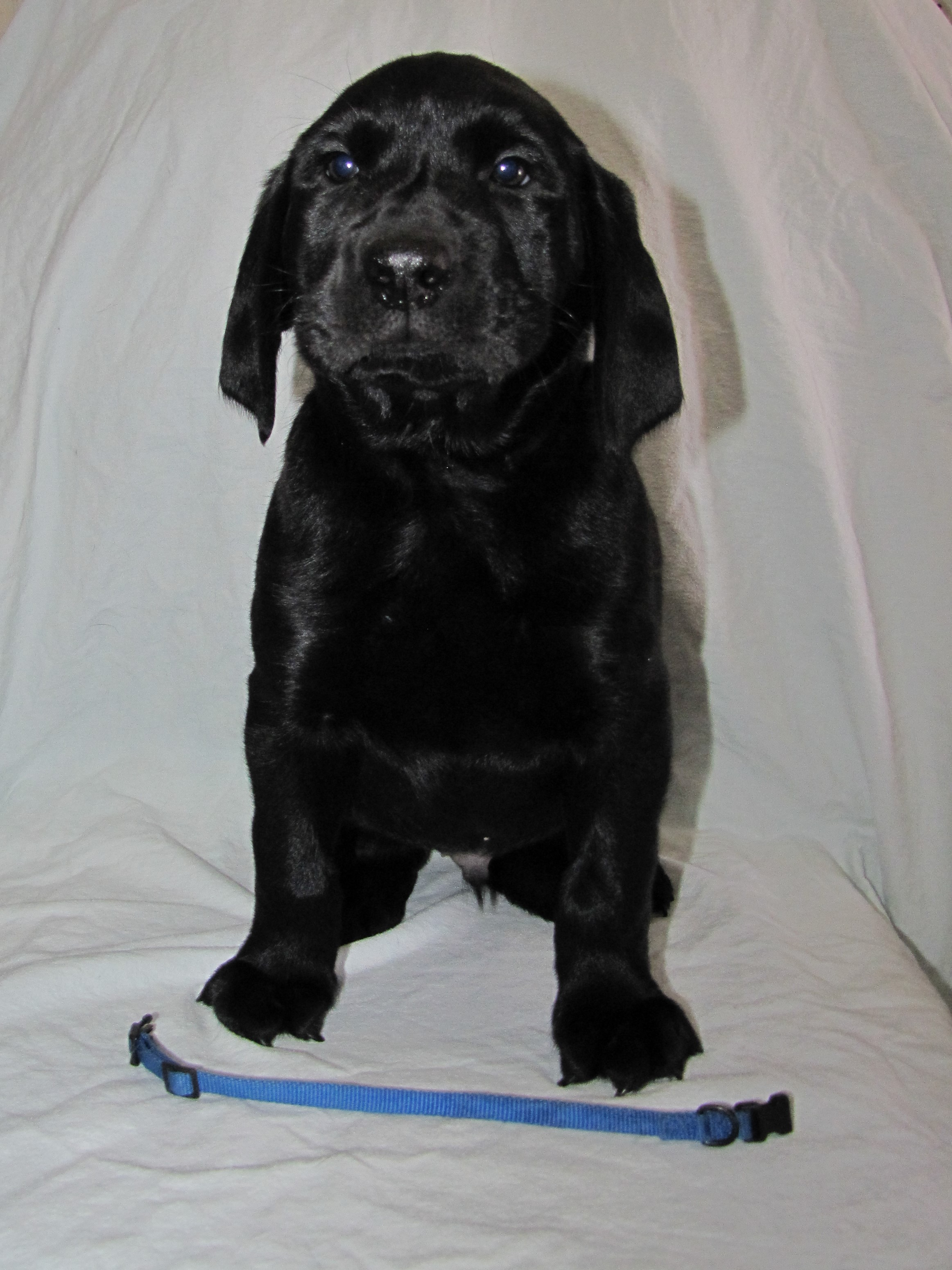 "7 Weeks Old - Blue Collar Male ""Guinness"""
