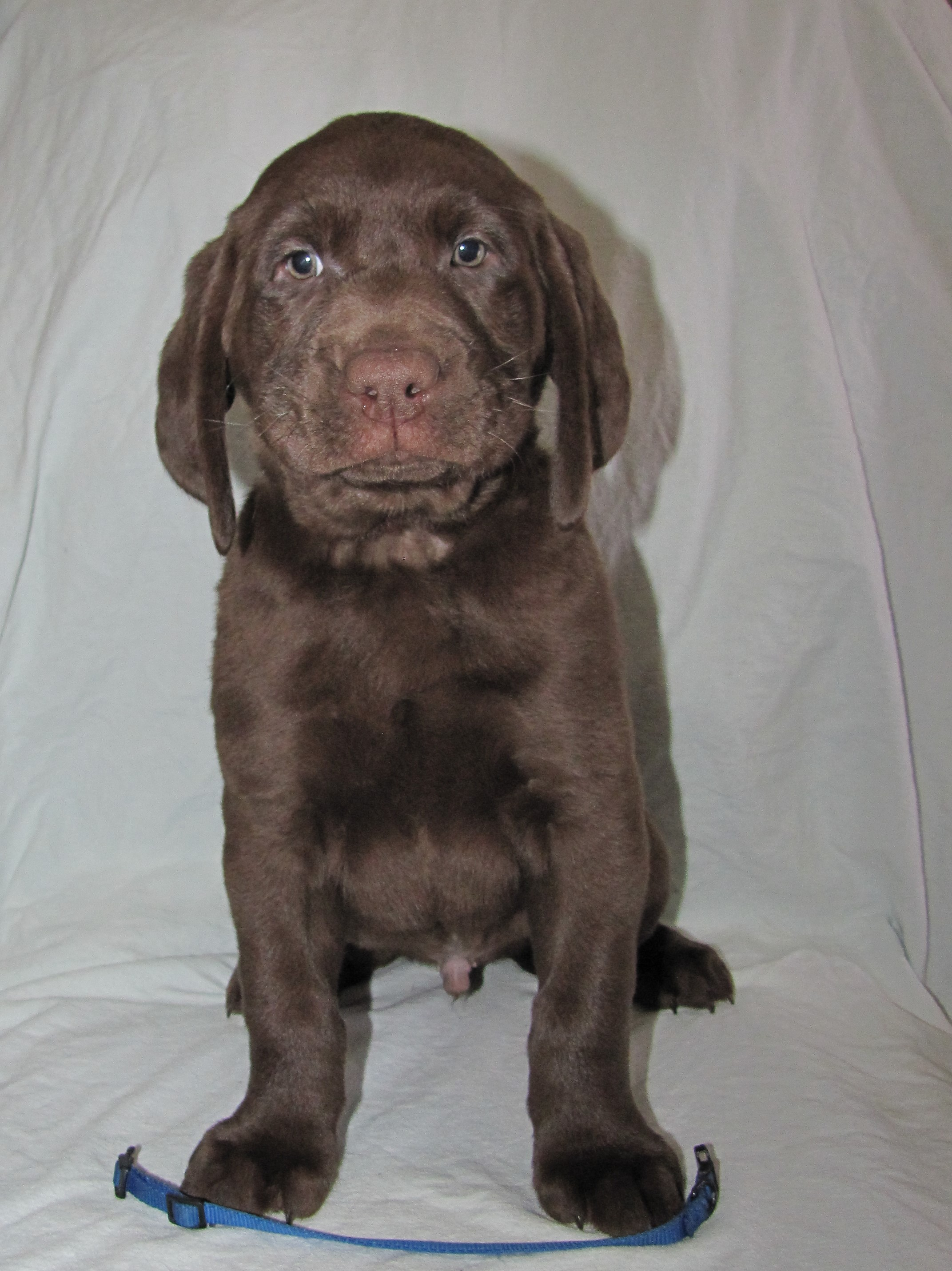 "7 Weeks Old - Blue Collar Male ""Gord"""