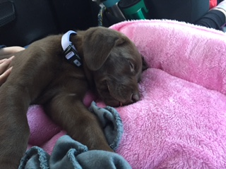 Kaia at her new home (Purple Collar Chocolate Female)