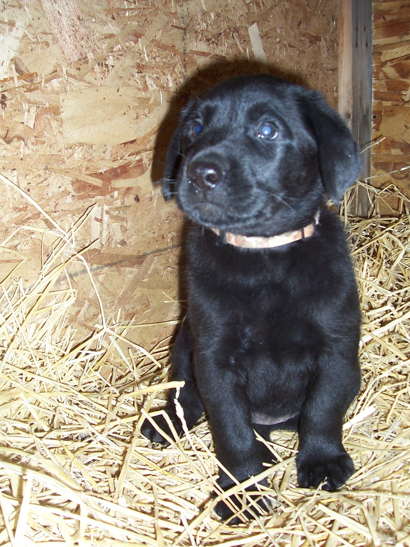 Brown Camo Collar Male - 7 Weeks Old