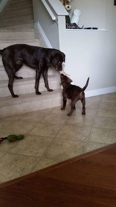 Rue at her new home (Pink Camo Collar Female) with her brother Tugg (Molly and Max's April 2015 Puppy)