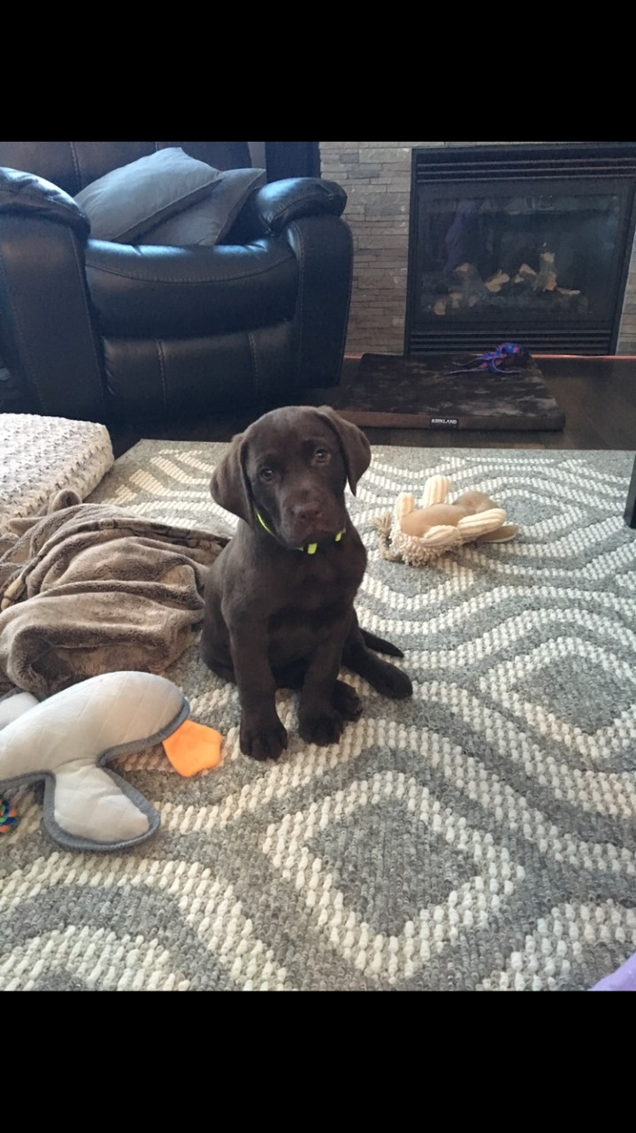 Ruger at his new home (Yellow Collar Chocolate Male)