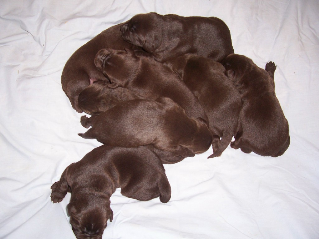8 Puppies - 1 Week Old