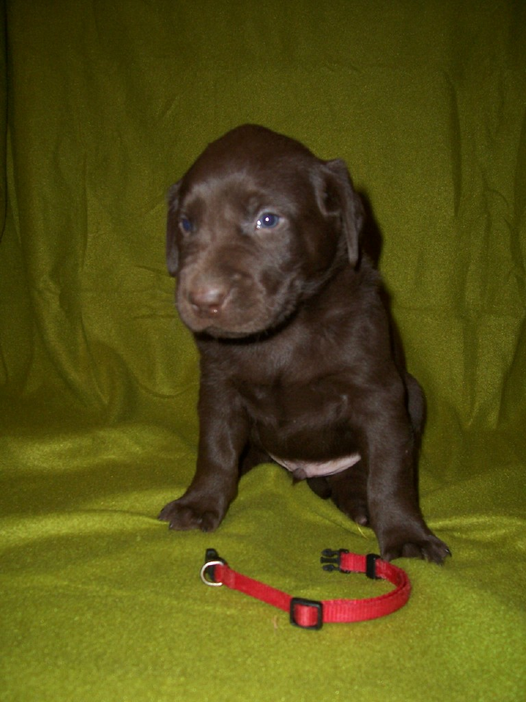 Red Male - 4 Weeks Old