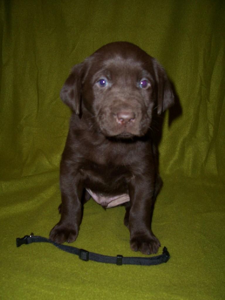 Black Male - 5 Weeks Old