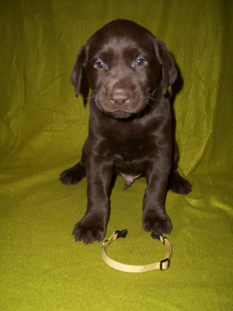 Yellow Male - 5 Weeks Old