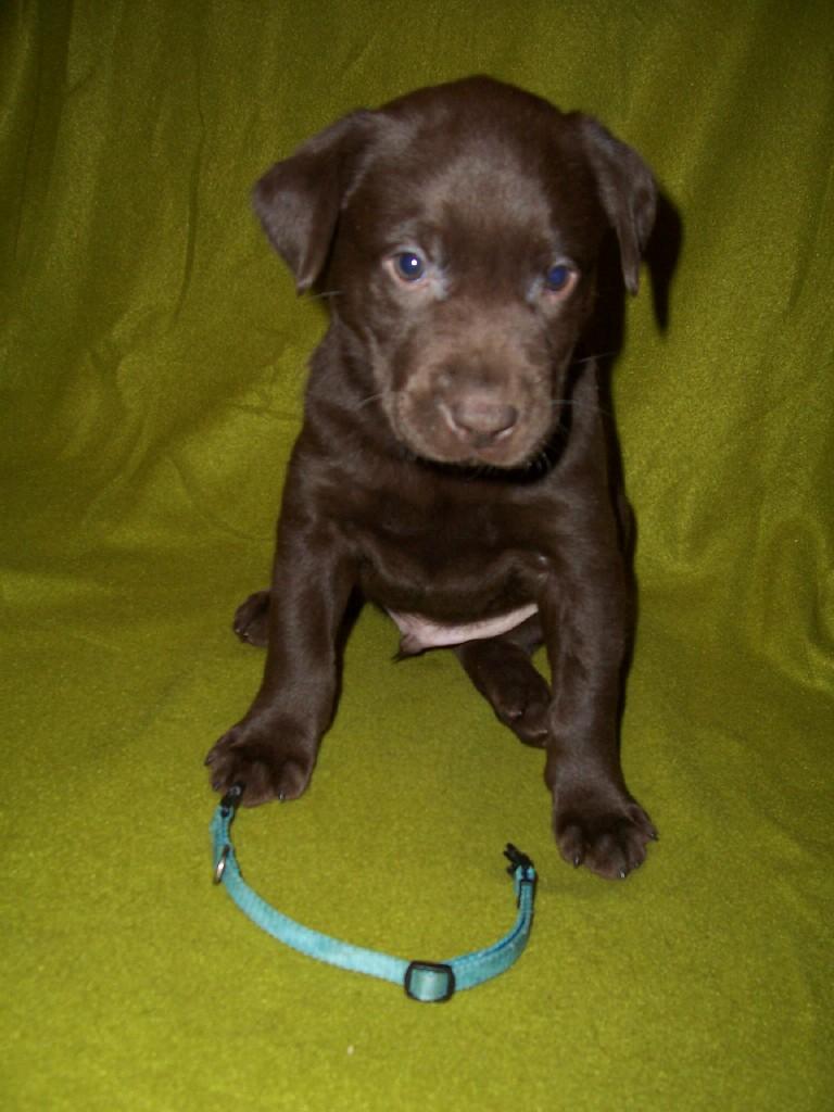Blue Male - 5 Weeks Old