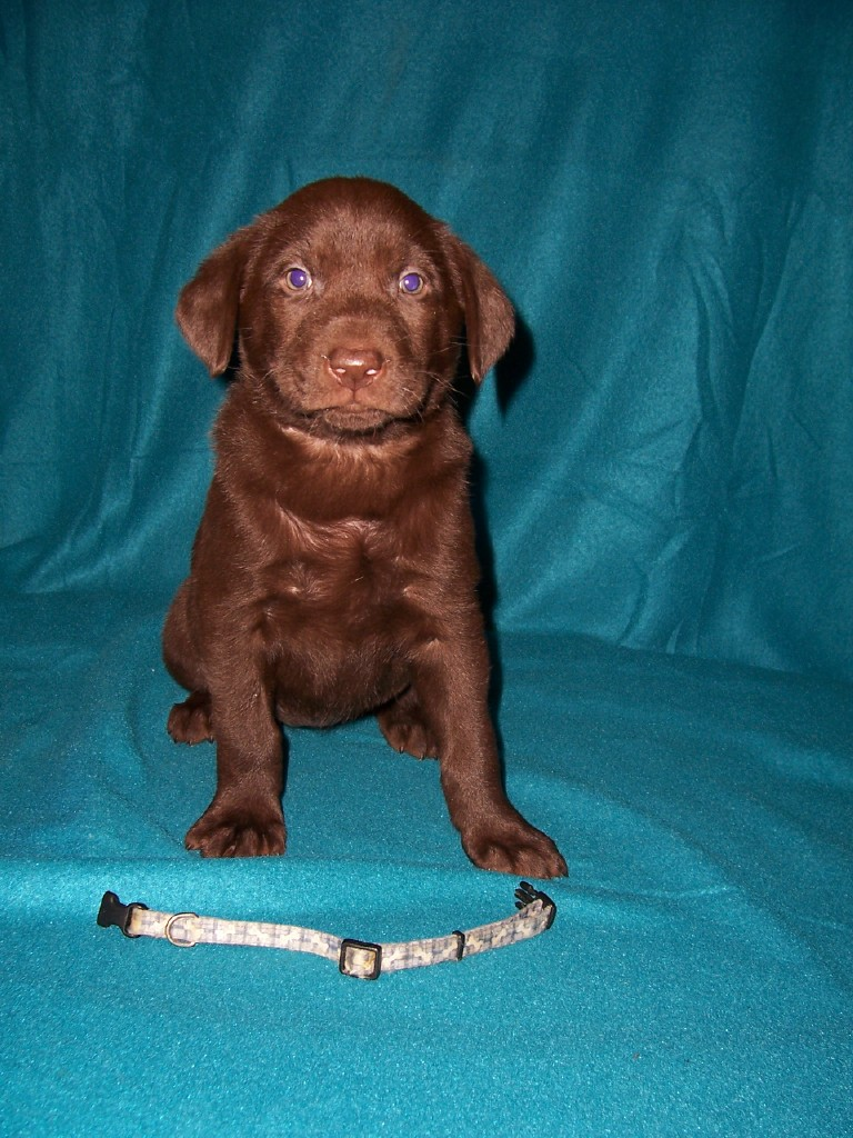 "Blue Bones Female ""Koa"" - 6 Weeks Old"