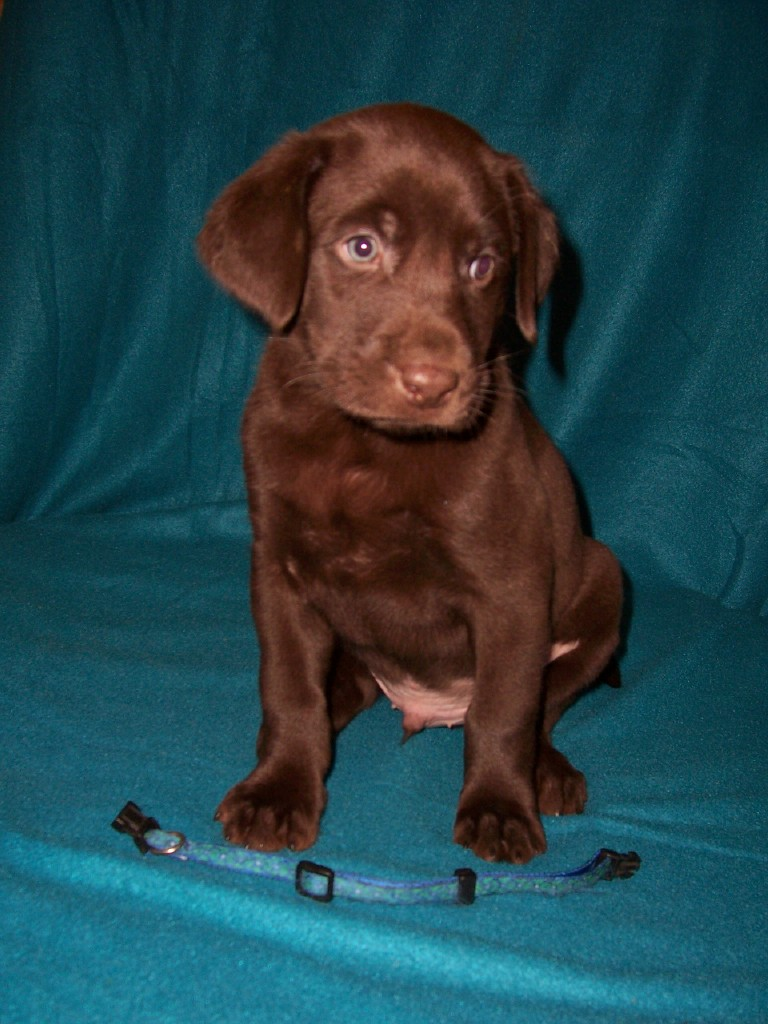 """Blue Circles Male """"Mousse"""" - 6 Weeks Old"""