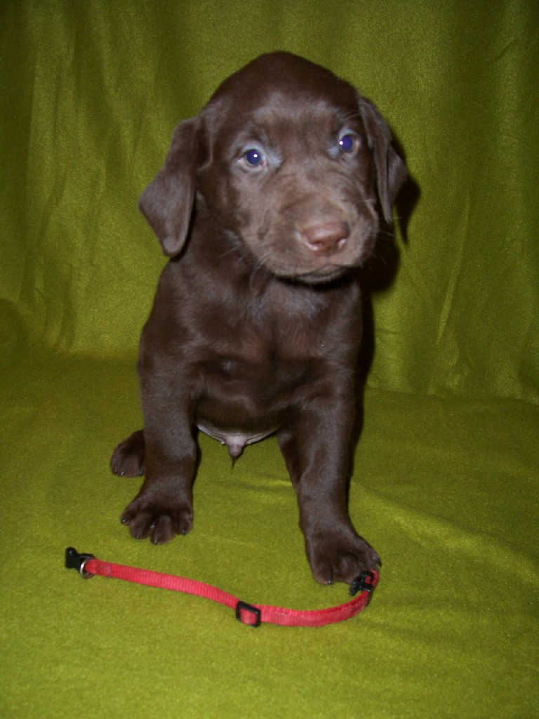 """Red Male """"Scout"""" - 6 Weeks Old"""