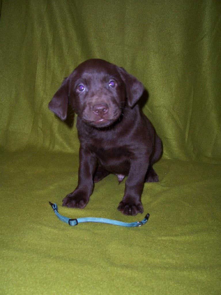 "Blue Male ""Finley"" - 6 Weeks Old"