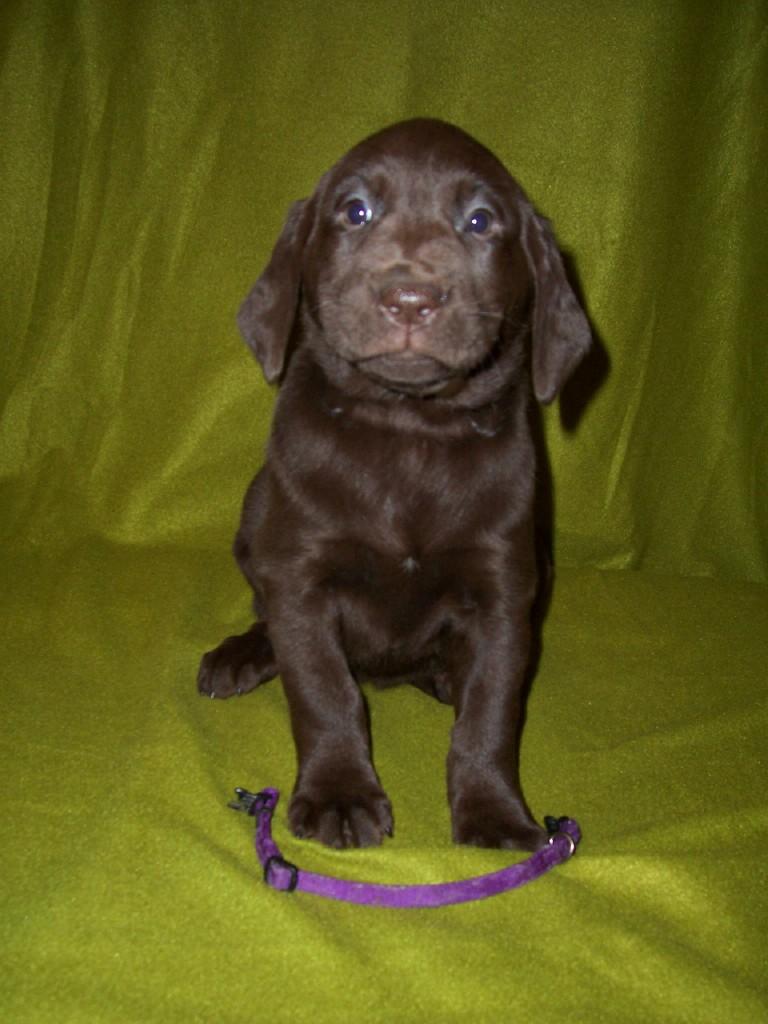 "Purple Female ""Molly"" - 6 Weeks Old"