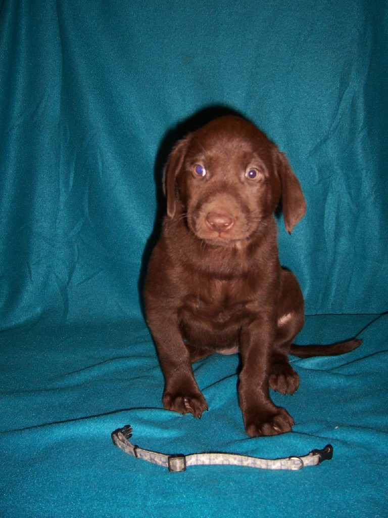 "Blue Bones Female ""Koa"" - 7 Weeks Old"