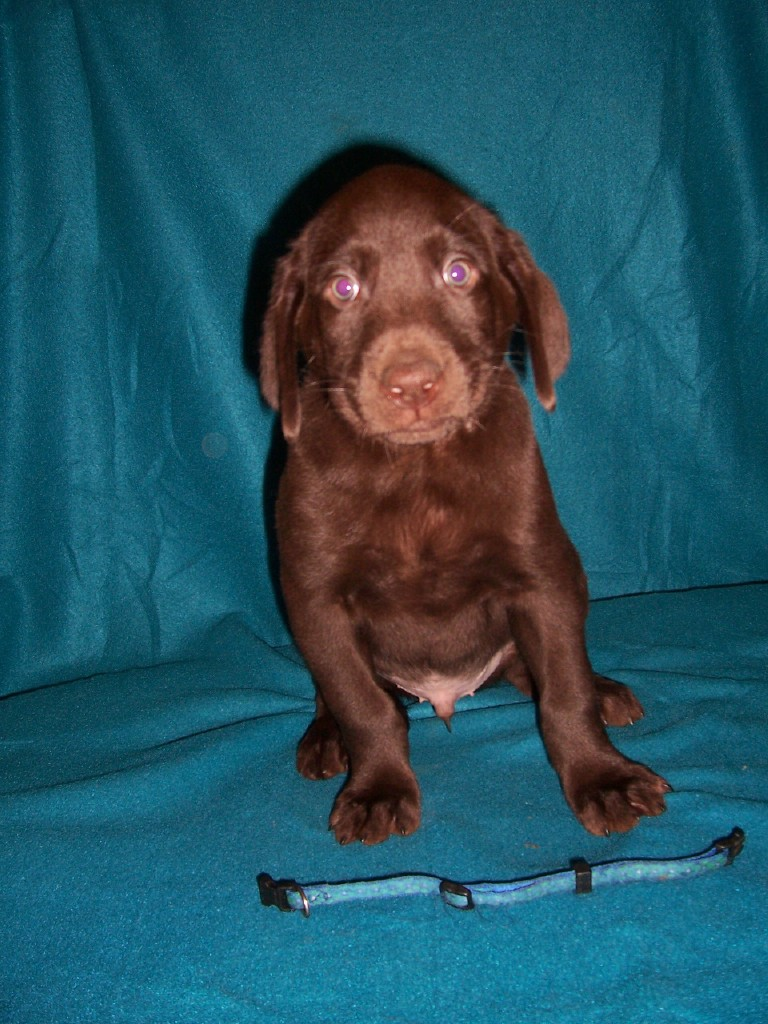 """Blue Circles Male """"Mousse"""" - 7 Weeks Old"""