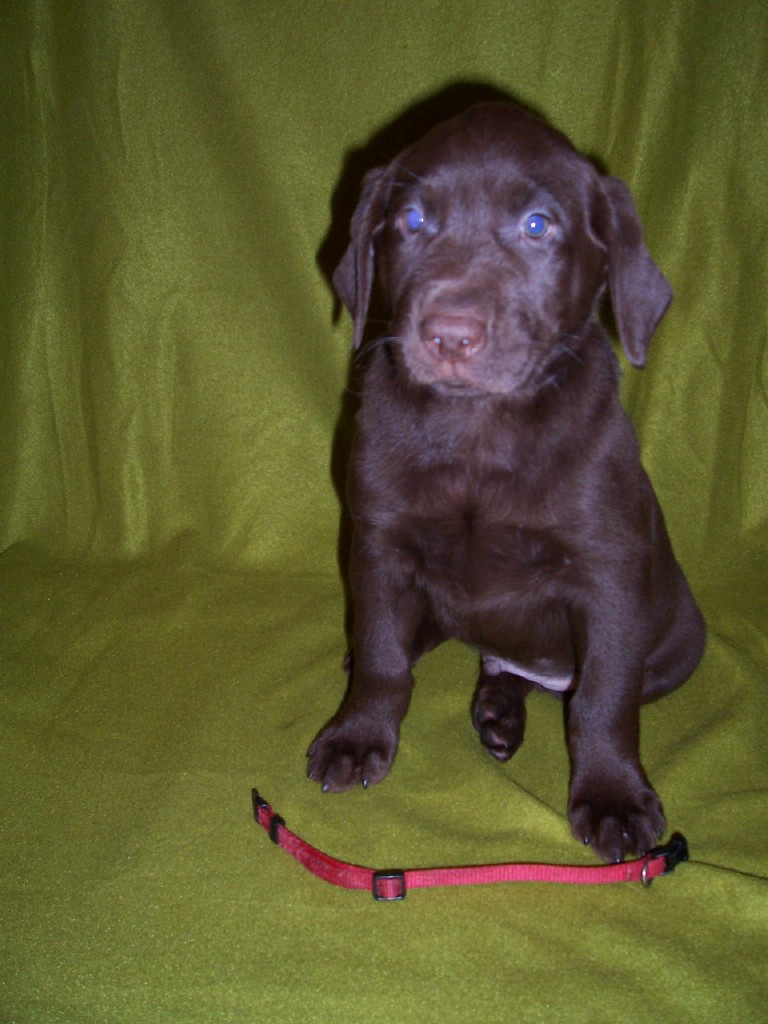 "Red Collar ""Scout"" - 7 Weeks Old"