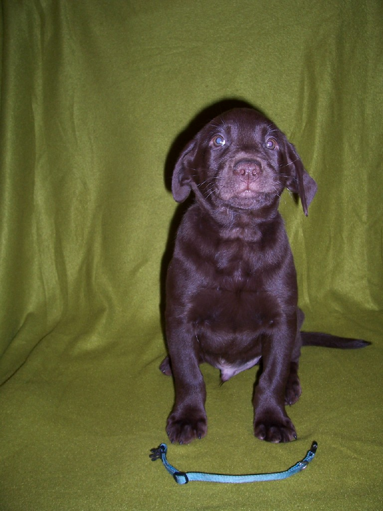"""Blue Collar """"Finley"""" - 7 Weeks Old"""
