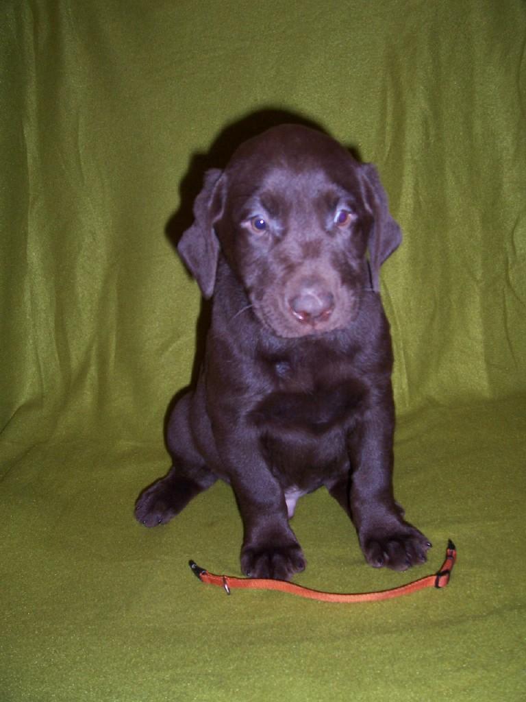 """Orange Collar """"Hudson"""" - 7 Weeks Old"""