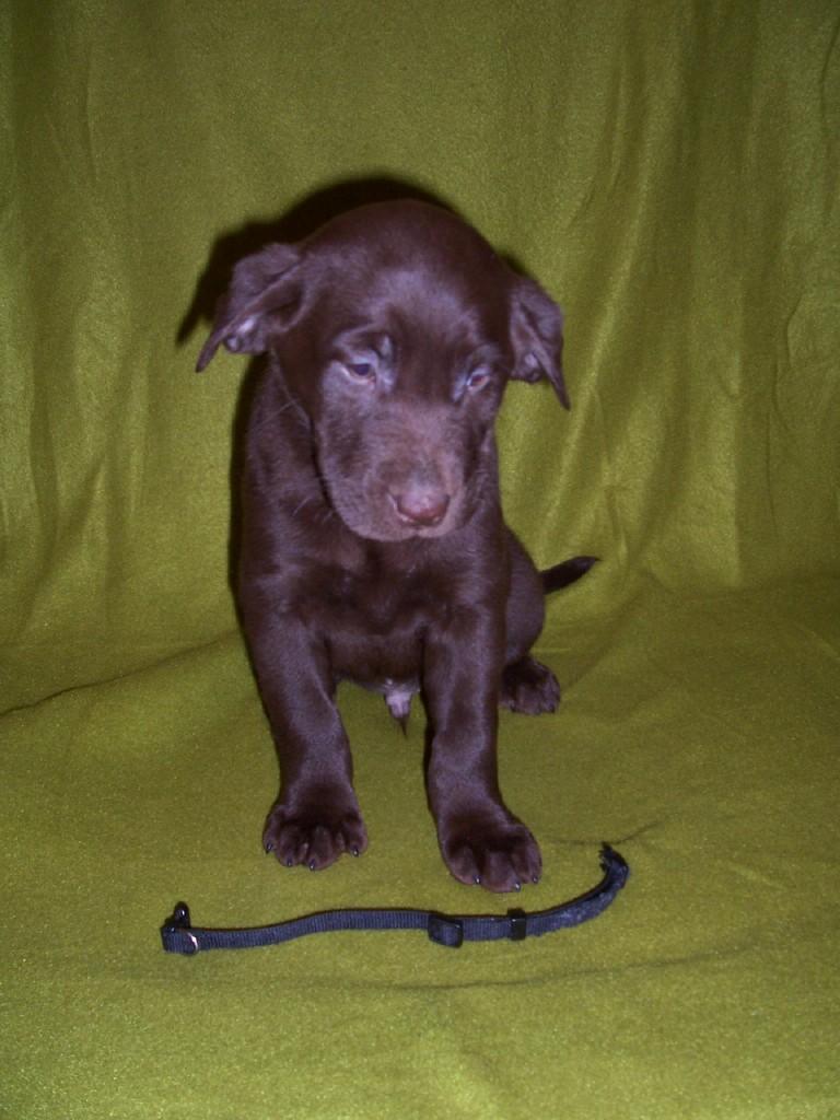 """Black Collar """"Milo"""" - 7 Weeks Old"""