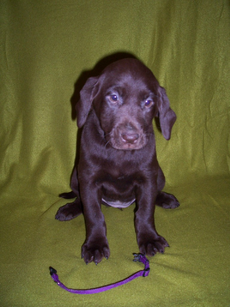 "Purple Collar ""Molly"" - 7 Weeks Old"