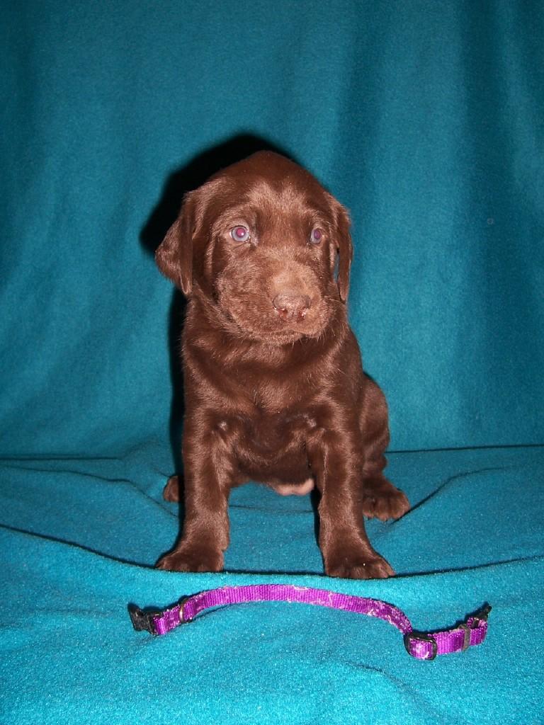 Purple Collar Female - 4 Weeks Old