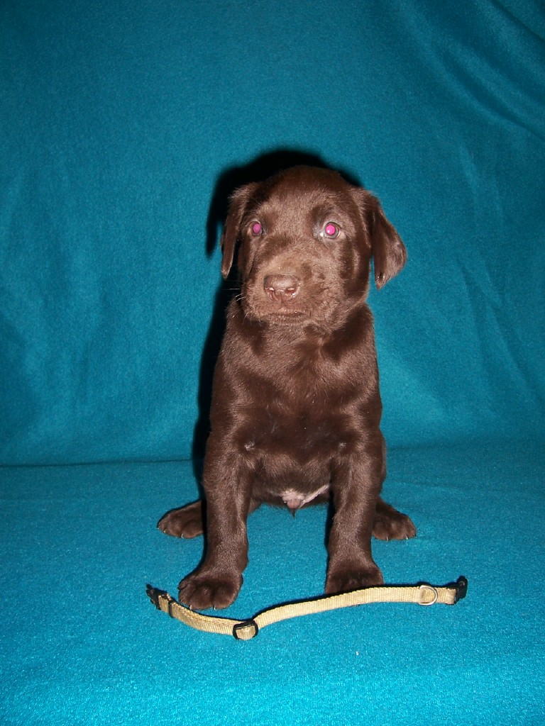 Yellow Collar Male - 5 Weeks Old