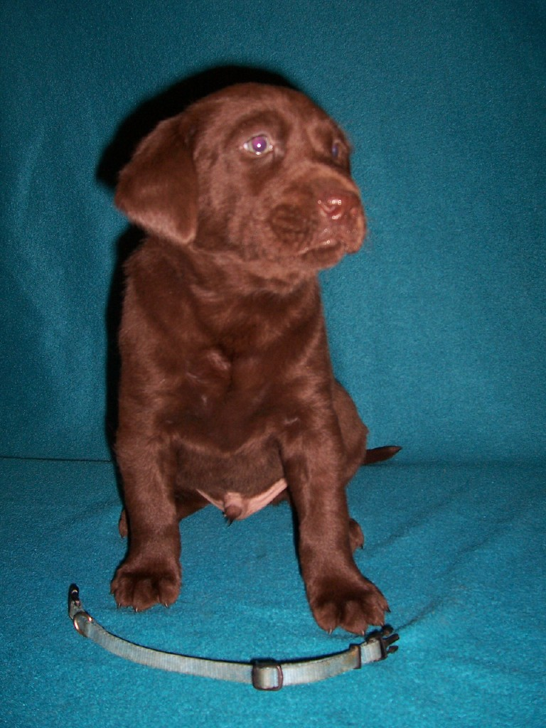 "Blue Collar Male ""Angler"" - 5 Weeks Old"