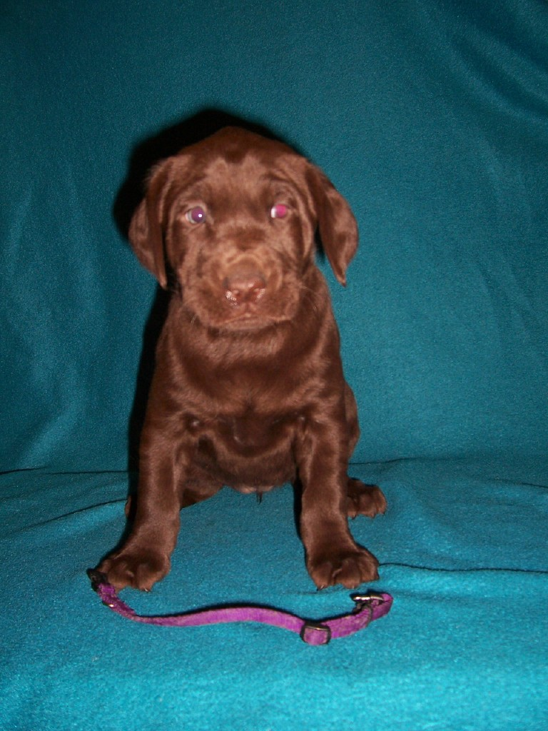 Purple Collar Female - 5 Weeks Old