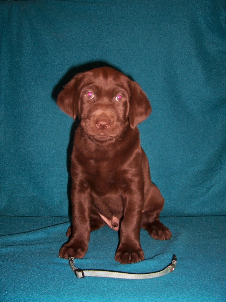 "Blue Collar Male ""Angler"" - 6 Weeks Old"
