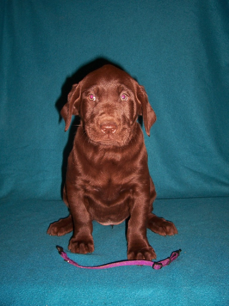 Purple Collar Female - 6 Weeks Old