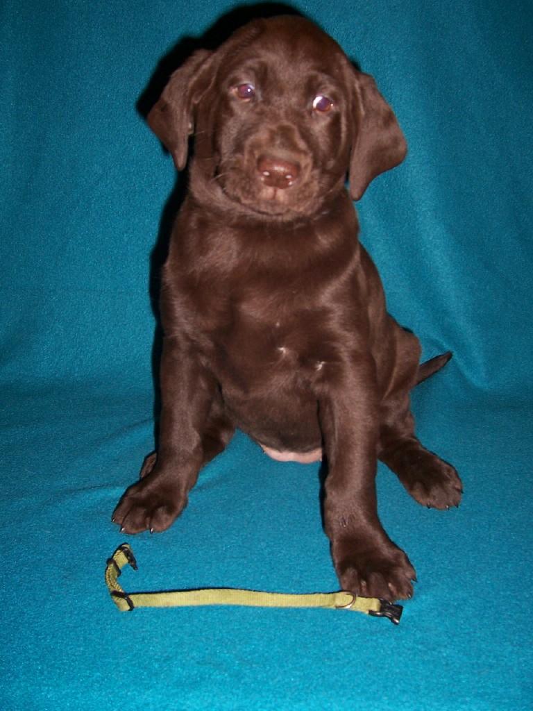 "Green Collar Female ""Tikka"" - 7 Weeks Old"