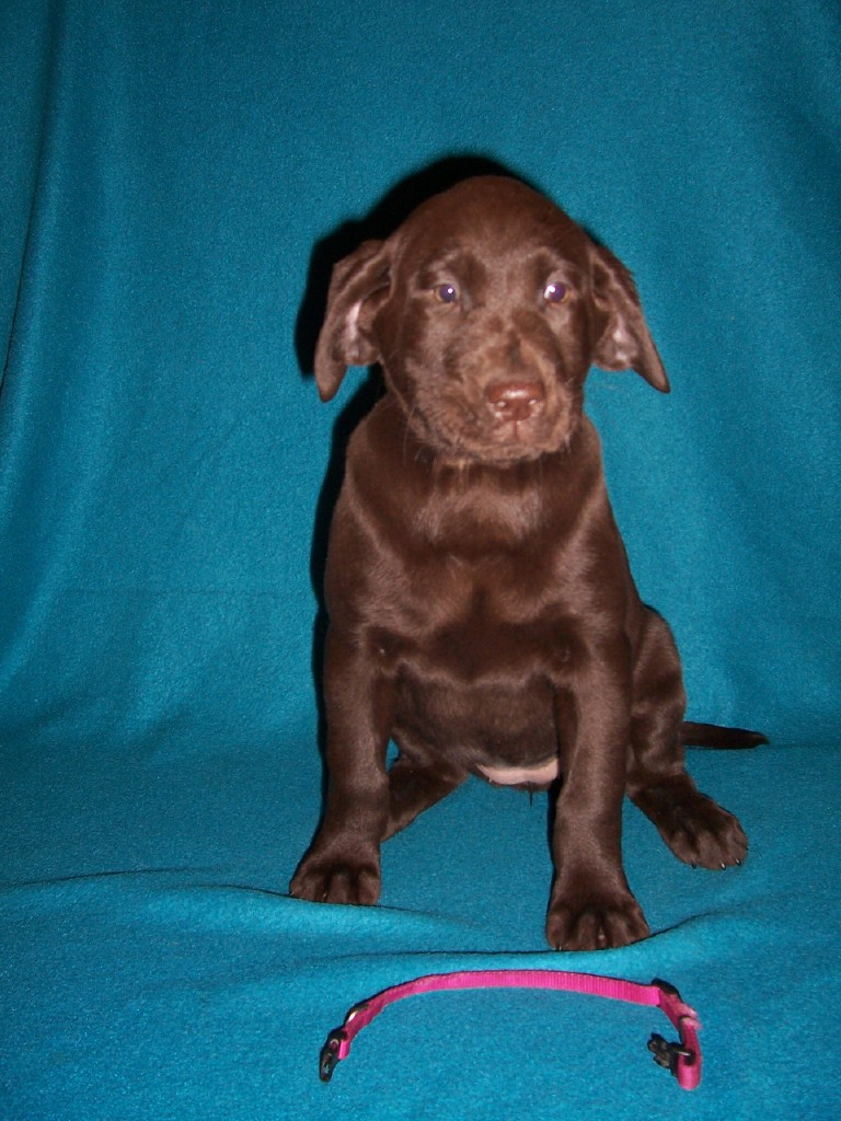 "Pink Collar Female ""Kona"" - 7 Weeks Old"
