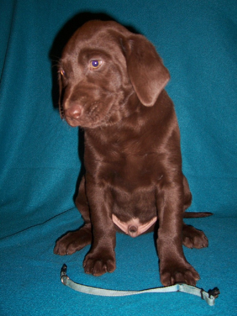 "Blue Collar Male ""Angler"" - 7 Weeks Old"