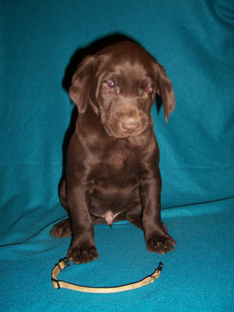 "Yellow Collar Male ""Jake"" - 7 Weeks Old"
