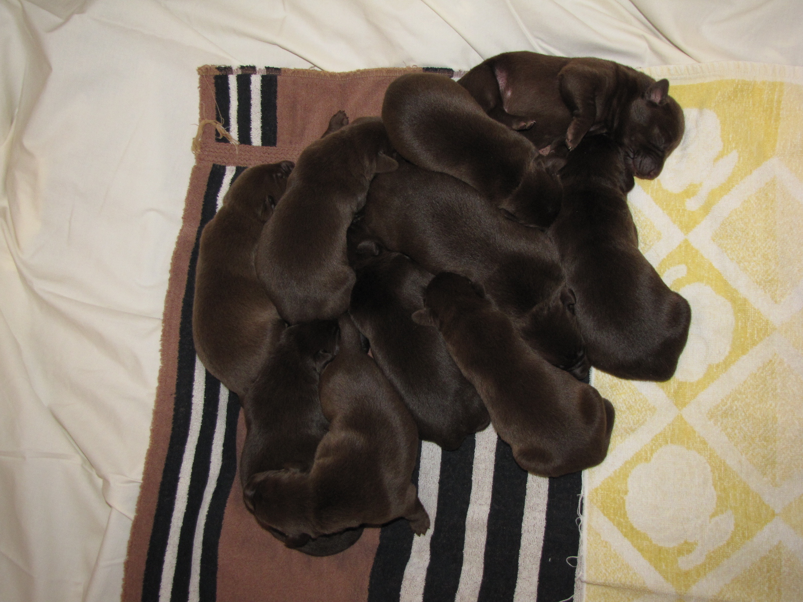 1 Week Old - 10 Pups