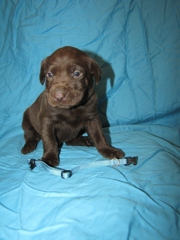 """4 Weeks Old - Blue Collar Male """"Copper"""""""