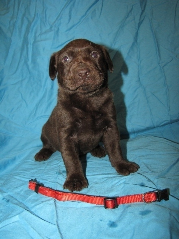 """4 Weeks Old - Red Collar Male """"Cliff"""""""