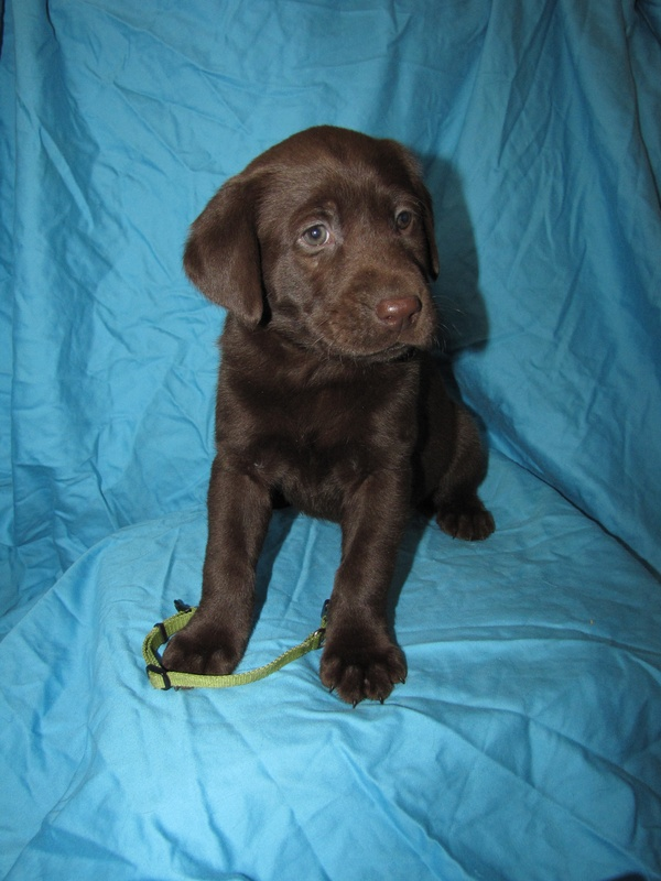 "6 Weeks Old - Green Collar Female ""Cocoa"""