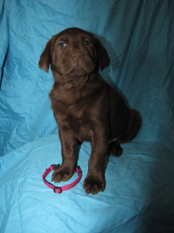 "6 Weeks Old - Pink Collar Female ""Kona"""