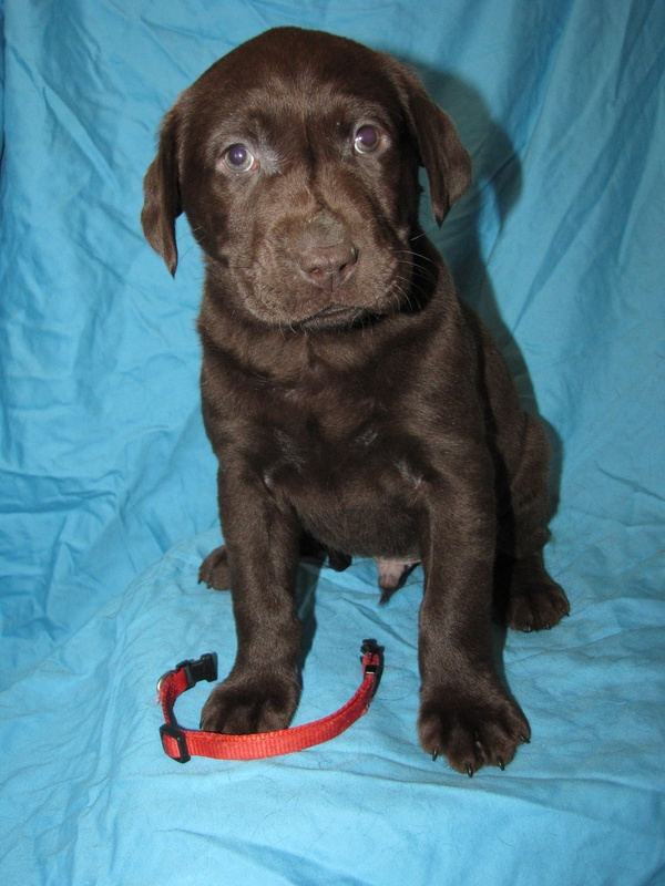 """6 Weeks Old - Red Collar Male """"Cliff"""""""
