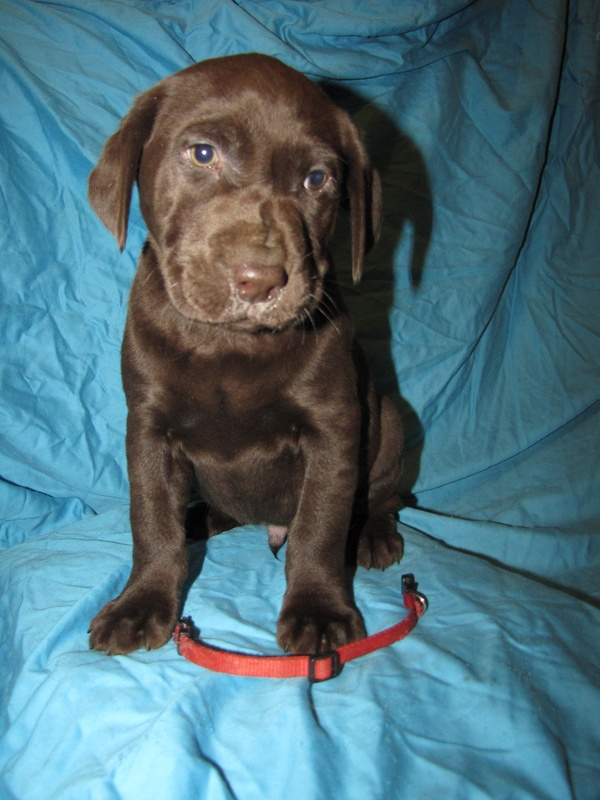 """7 Weeks Old - Red Collar Male """"Cliff"""""""