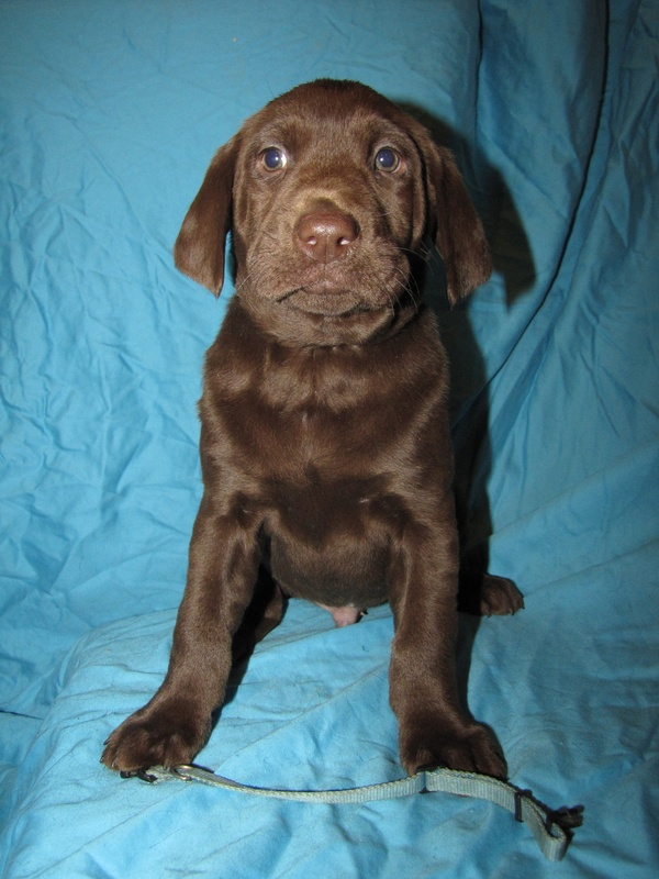 "7 Weeks Old - Blue Collare Male ""Copper"""